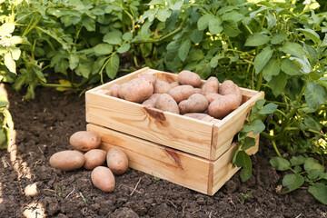 Fototapeta Wooden box with raw gathered potatoes in field obraz