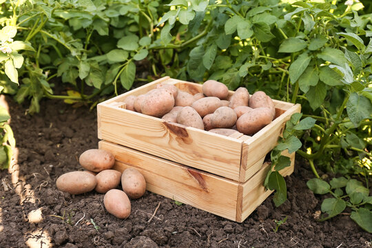 Wooden box with raw gathered potatoes in field