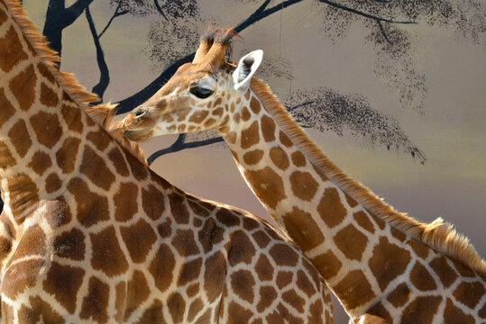 Closeup of juvenile giraffe (Giraffa camelopardalis) near of a adult