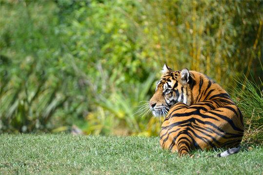Closeup of tiger (Panthera tigris) lying on grass seen from behind