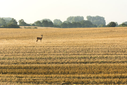 Lonely deer on a cornfield staring into the camera in the morning light