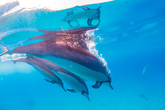 Three dolphins diving from surface in clear blue ocean water