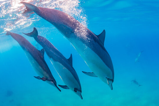 Pod of dolphins diving in clear blue ocean water