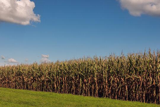 ein erntereifes Maisfeld im Herbst