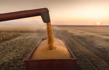 Fototapeta Pouring Corn Grain Into Tractor Trailer. obraz