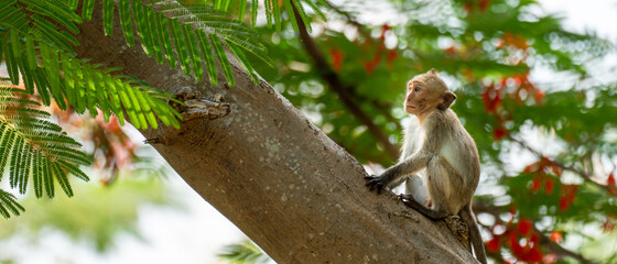 A baby monkey is climbing a Caesalpinia tree in a natural tropical forest.