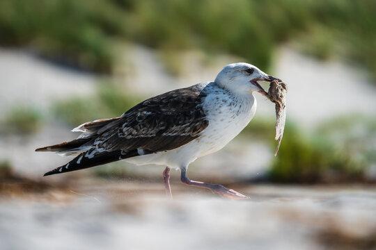 Eine Möwe frisst einen Plattfisch am Strand