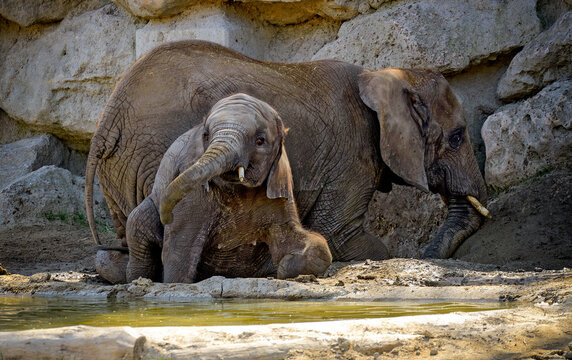 elephant cow and youngster in a mud wallow