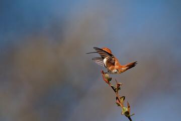 Fototapeta premium Closeup shot of a rufous hummingbird (Selasphorus rufus)