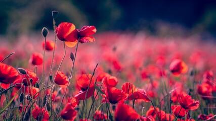 Fototapeta poppy flowers in the field obraz