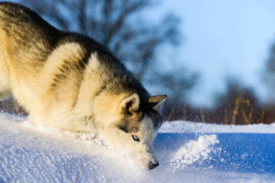 Siberian Husky sled dog, cute and obedient pets.