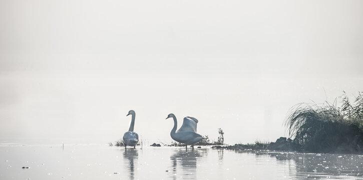 Zwei Schwäne stehen im flachen Wasser eines großen Flusses