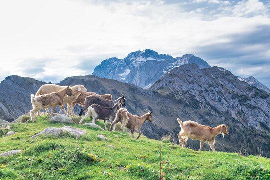 Goats on mountain meadows