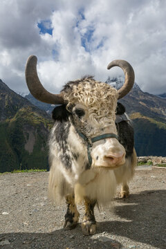Yak on the background of the Caucasus mountains