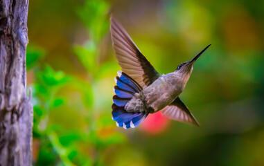 Fototapeta premium Shallow focus of a flying Colibri outdoors