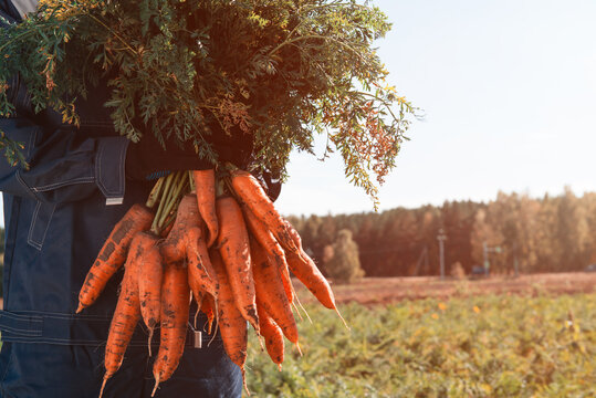 Farmer hands in gloves holding bunch of carrot in the garden, closeup. Harvest concept