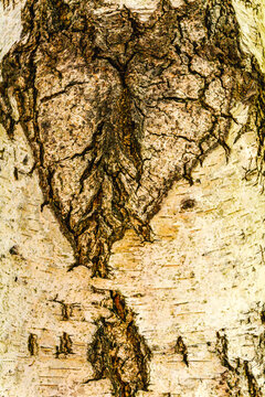 Birch bark as a natural background for further graphic works.