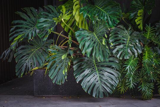 Giant Monstera leaves