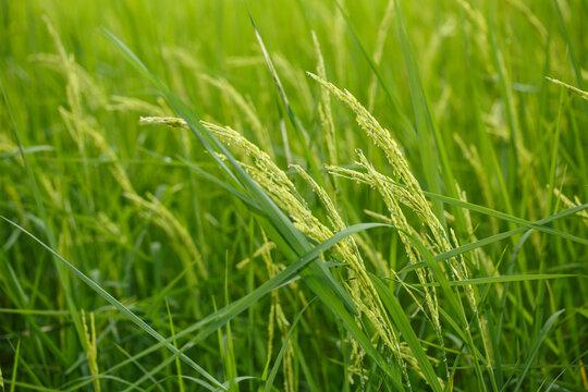Rice flowers on field