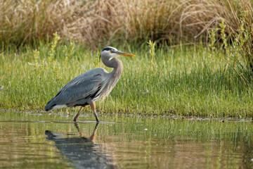 Fototapeta premium Shot of a Great Herons bird with folded neck standing in water and grass in the background
