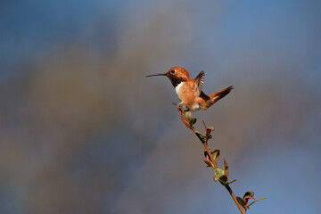 Fototapeta premium Beautiful shot of a little hummingbird on a tree branch with a blue sky in the background
