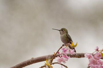 Fototapeta premium Selective focus shot of a hummingbird standing on a blooming flower tree