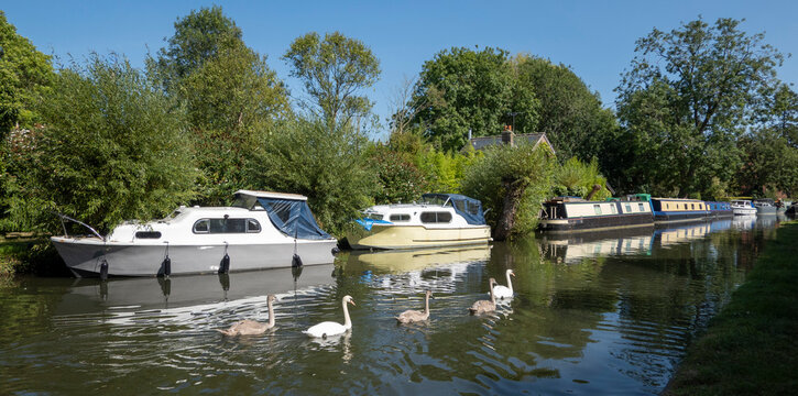 Newbury, Berkshire, England, UK. 2021.  Family of swans swimming towards Newbury on the Kennet and Avon Canal.