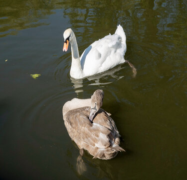 England, UK. 2021.  Overview of an adult swan with a young signet  on an English river.
