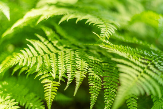 beautiful spring fern