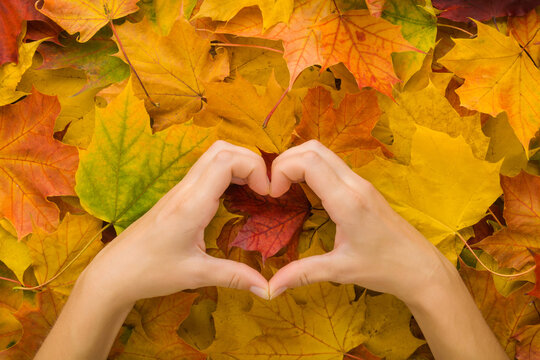 Heart shape created from young woman hands on fresh orange yellow maple leaves background. Closeup. Point of view shot. Concept of love colorful autumn time. Top down view.