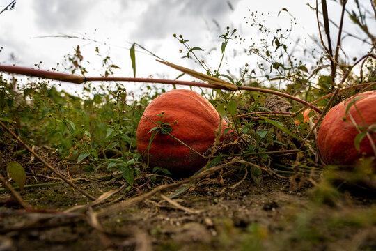 Dynie na polu, dynie na polu wśród chwastów, klimatyczne dynia w czasie jesieni