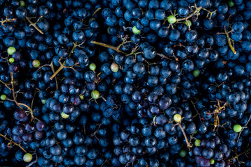 Fototapeta kiście winogron, dojrzałe winogrona, zbiory winogron, pojedyncze zielone winogrona na kiściach obraz