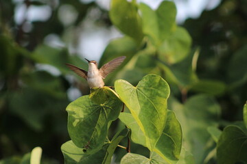 Fototapeta premium hummingbird with outstretched wings perched on a heart shaped leaf