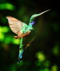 Fototapeta premium Beautiful Hummingbird flying between trees
