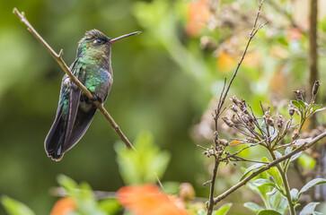 Fototapeta premium Beautiful view of a hummingbird perched on the branch