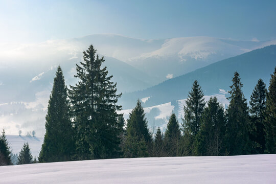 winter landscape with coniferous forest. beautiful nature scenery of carpathian mountains. sunny weather with distant range in haze