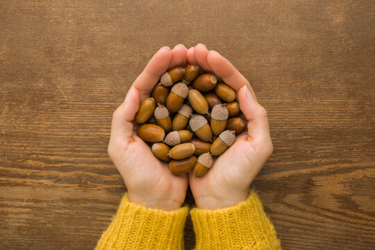 Young adult woman opened palms holding fresh brown acorns on dark wooden table background. Closeup. Point of view shot. Top down view.