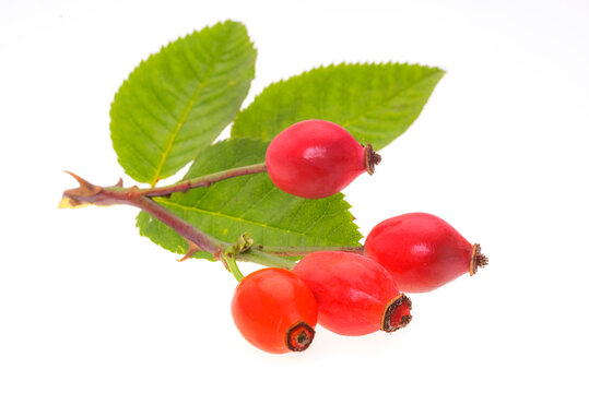 Branch of rose hips with green leaves isolated on a white background without shadows in close-up