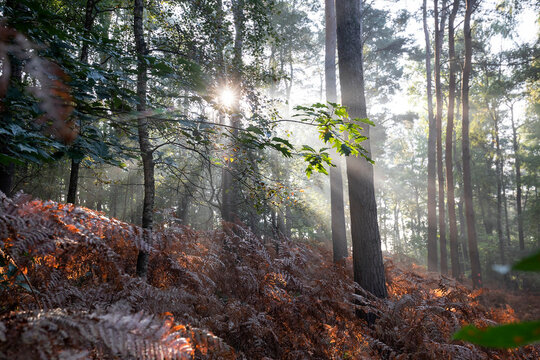 sun beams in foggy autumn forest with fern