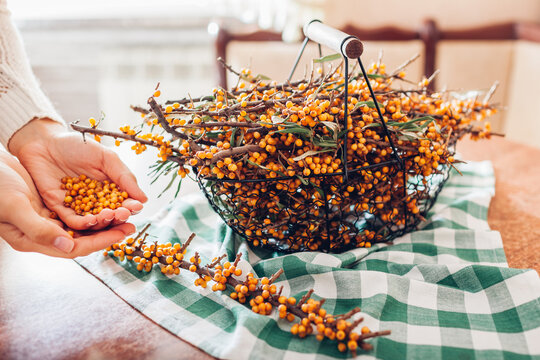 Woman stripping sea buckthorn berries from branches at home and puts it in hands. Healthy fruit