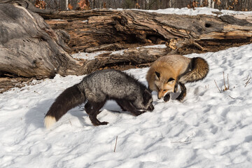 Fototapeta premium Silver and Red Fox (Vulpes vulpes) Sniff and Dig in Snow Winter