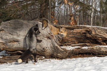 Fototapeta premium Silver Fox (Vulpes vulpes) and Red Fox Look at Each Other Around Log Winter