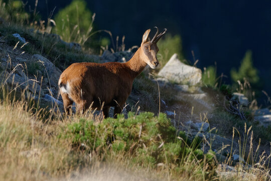 Pyrenean chamois (Rupicapra pyrenaica) in the mountains