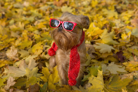 Brussels Griffon dog in red glasses and a scarf