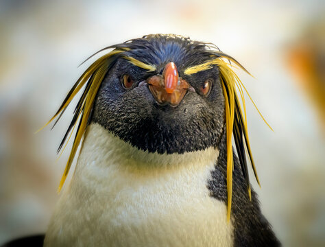 head of a rockhopper penguin