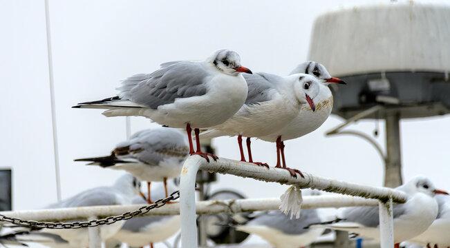three seagulls in winter plumage