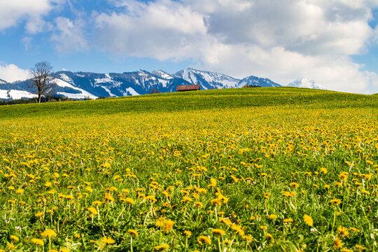Allgäu - Frühling - Löwenzahn - Alpen - Binse - Sonthofen