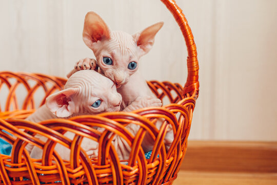 Two canadian sphynx kittens sitting in basket at home. Hairless pets with blue eyes playing. Cat family