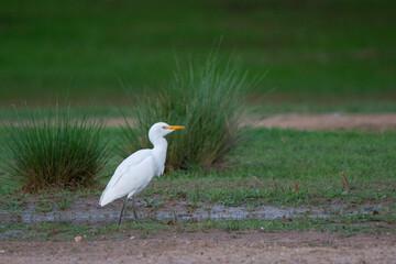 Fototapeta premium great blue heron
