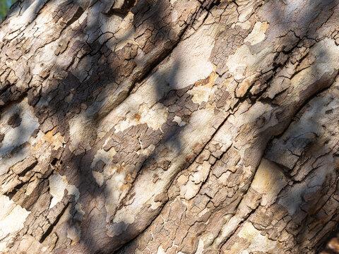 Sycamore Tree Trunk Bark